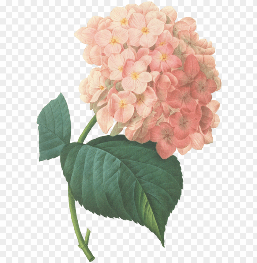 free PNG buttercups floral design provides flowers and decor - hydrangea flower prints PNG image with transparent background PNG images transparent