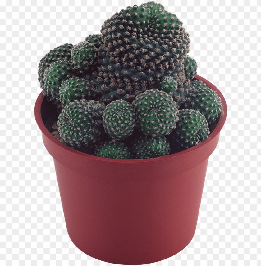 free PNG cactus - transparent background succulent plant PNG image with transparent background PNG images transparent