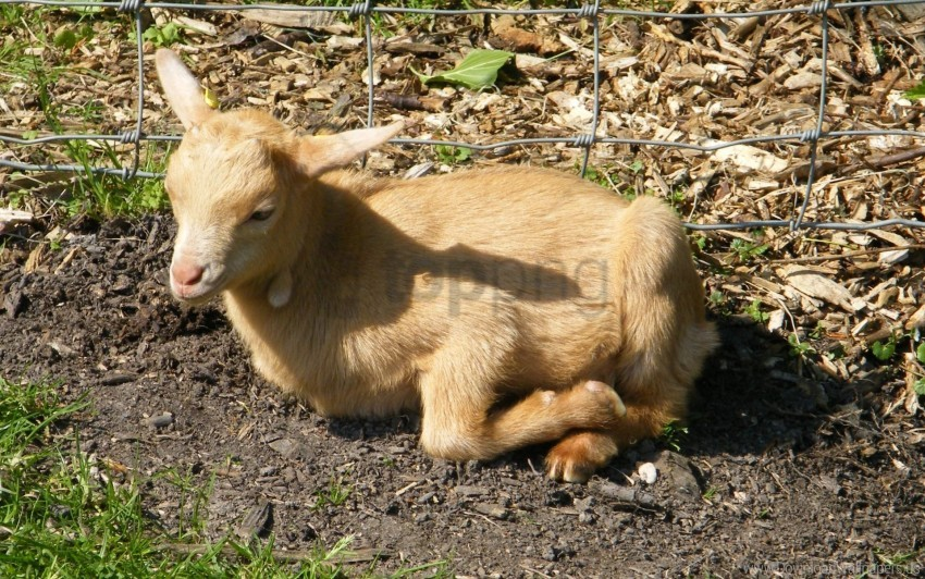 calf, grass, lie down, sheep, wait wallpaper background best stock photos@toppng.com