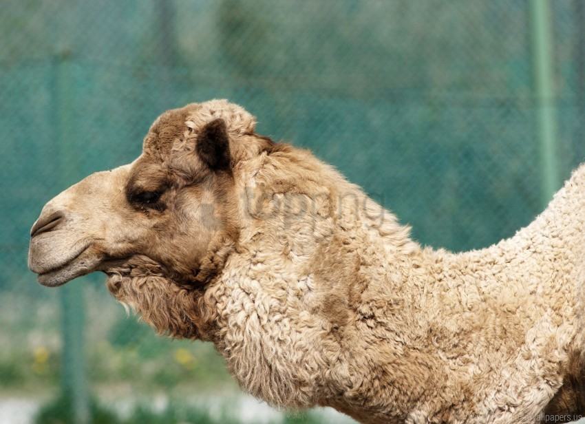free PNG camel, face, pro, wool wallpaper background best stock photos PNG images transparent