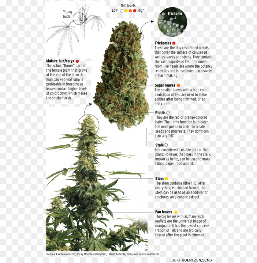 free PNG can you name the parts of the cannabis plant that contain - grow great weed: personal & medical marijuana indoor/outdoor PNG image with transparent background PNG images transparent