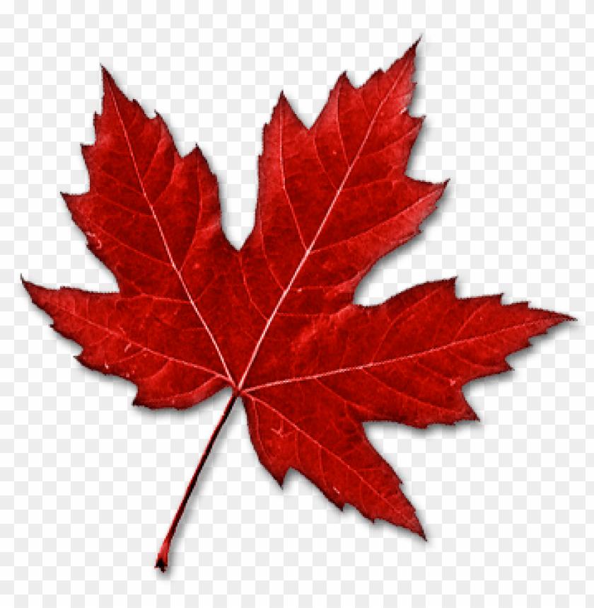 free PNG Download canada leaf png images background PNG images transparent