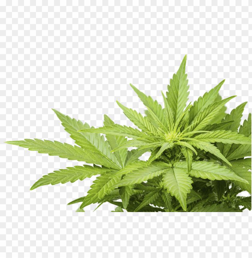Скачать картинка с коноплей легальны ли семена марихуаны в россии