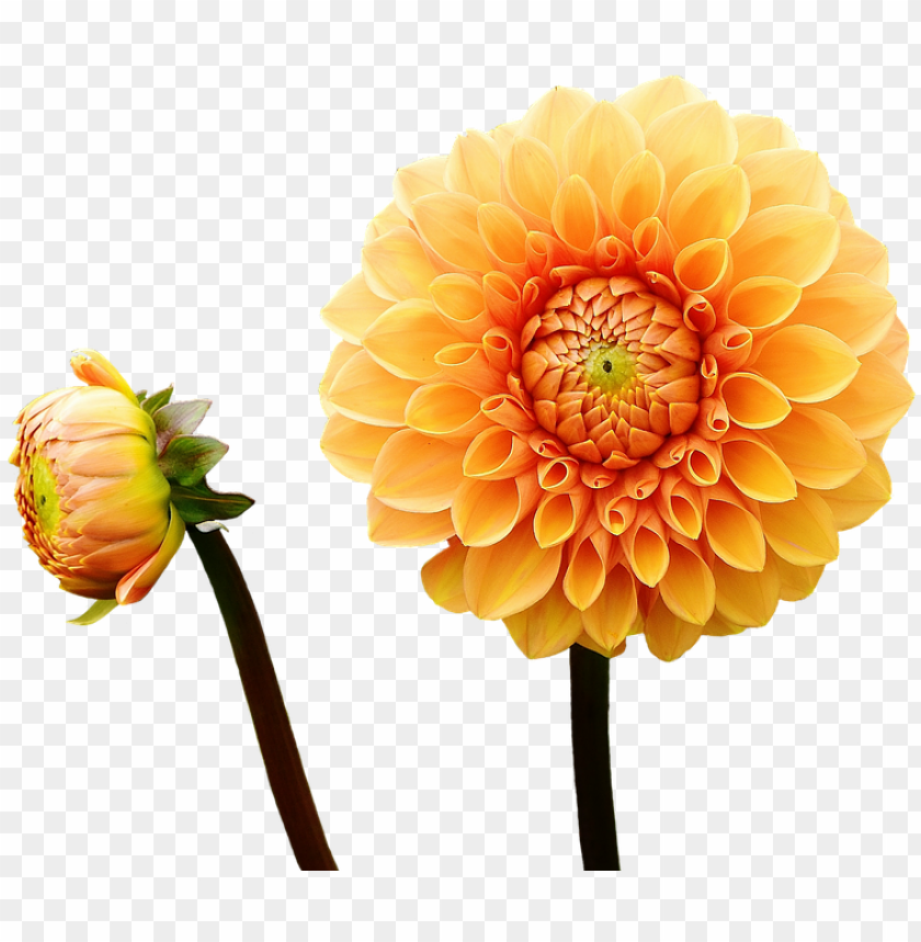 free PNG canvas print autumn flower garden asteraceae dahlia - dahlia flower with a cloudy sky background journal: PNG image with transparent background PNG images transparent
