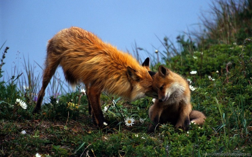 free PNG care, couple, fox, grass, playful, young wallpaper background best stock photos PNG images transparent