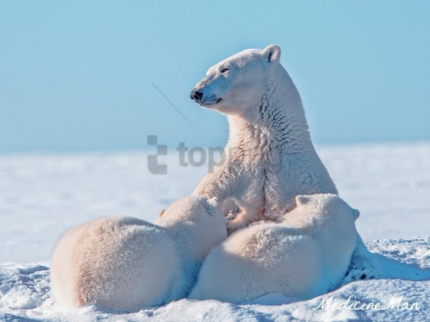 free PNG caring, polar bear, polar bear, snow, young wallpaper background best stock photos PNG images transparent