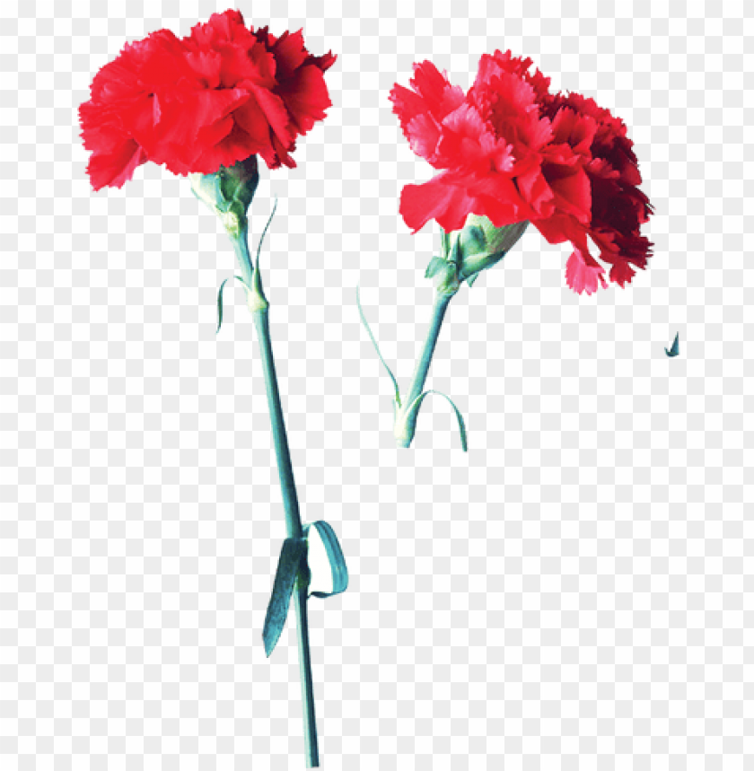 free PNG carnation garden roses flower mother's day - carnation garden roses flower mother's day PNG image with transparent background PNG images transparent
