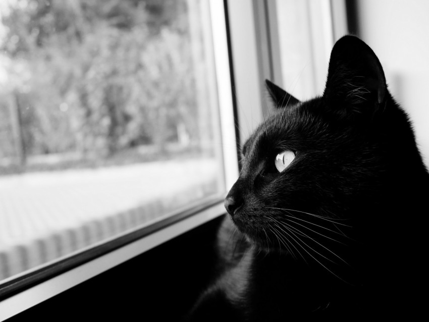 free PNG cat, bw, black cat, black, muzzle background PNG images transparent