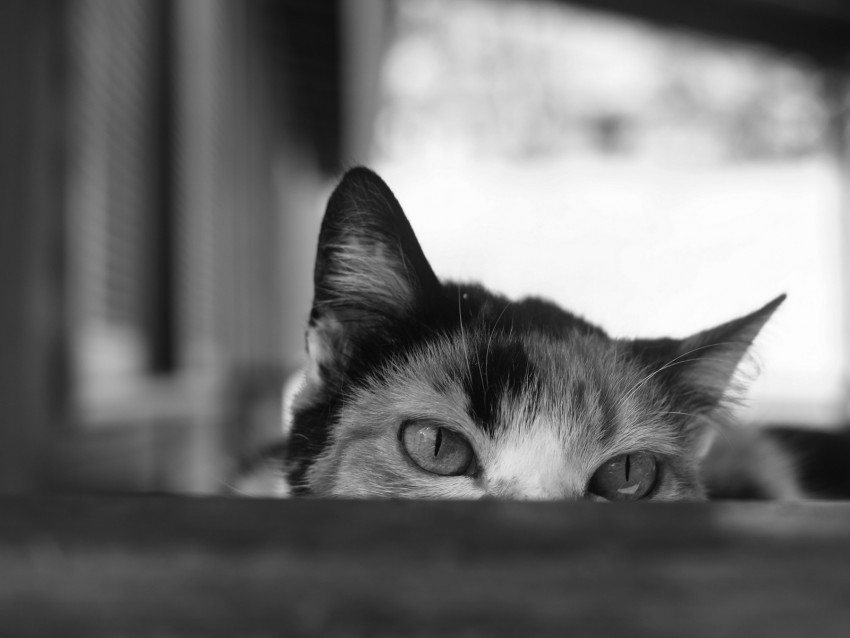 cat, bw, eyes, spy, ears background@toppng.com