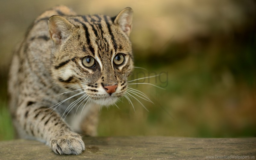 free PNG cat, cat-fishing, look, speckled cat wallpaper background best stock photos PNG images transparent