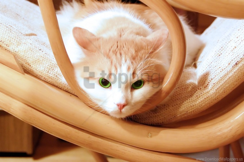 free PNG cat, chair, lie, look, muzzle wallpaper background best stock photos PNG images transparent