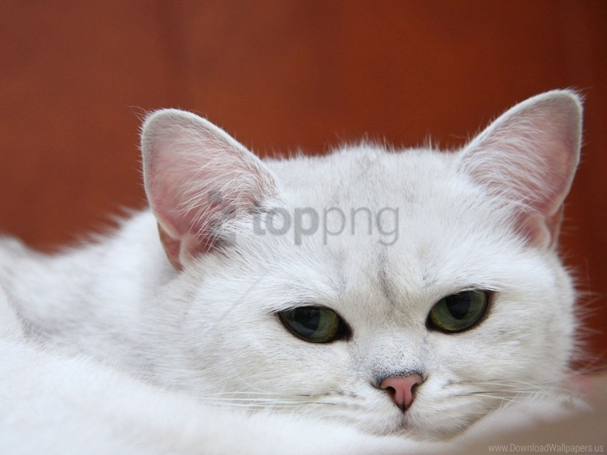 free PNG cat, charming, muzzle, sleep, white wallpaper background best stock photos PNG images transparent
