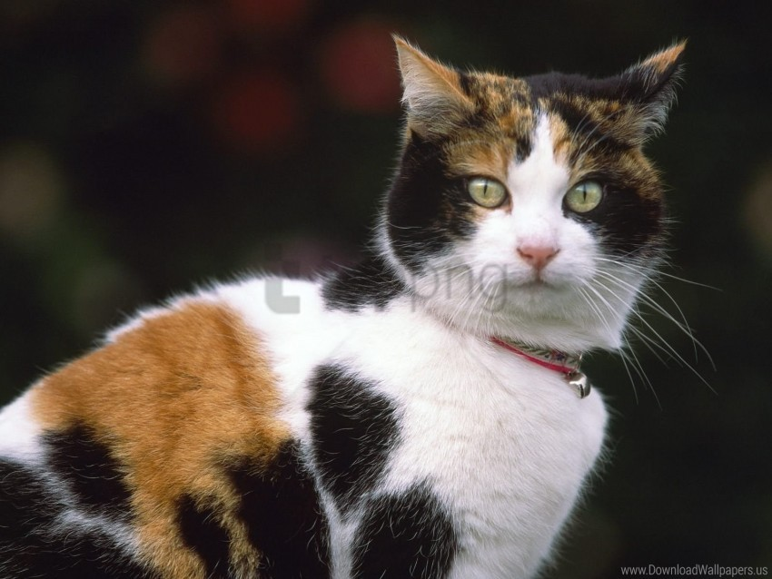 free PNG cat, collar, muzzle, spotted wallpaper background best stock photos PNG images transparent