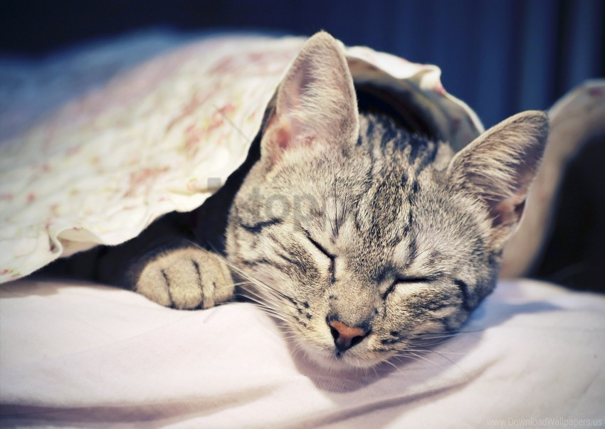 free PNG cat, comfort, face, lie down, sleep wallpaper background best stock photos PNG images transparent