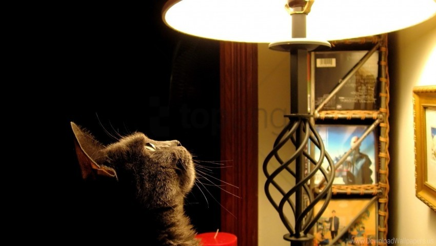 free PNG cat, curiosity, ears, lamp wallpaper background best stock photos PNG images transparent