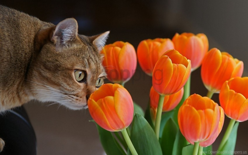 free PNG cat, curiosity, muzzle, tulips wallpaper background best stock photos PNG images transparent
