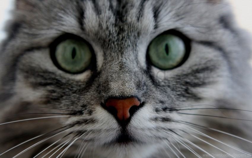 free PNG cat, cute, eyes, face, fluffy, gray wallpaper background best stock photos PNG images transparent