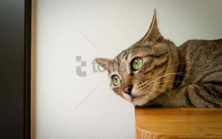 free PNG cat, down, ears, face wallpaper background best stock photos PNG images transparent