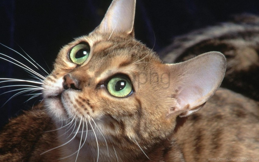 free PNG cat, ears, eyes, whiskers wallpaper background best stock photos PNG images transparent