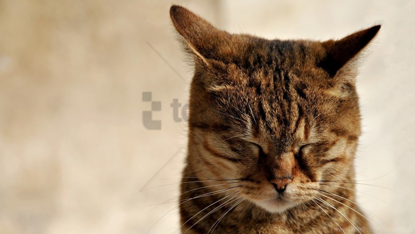 free PNG cat, ears, muzzle, sleep, tabby wallpaper background best stock photos PNG images transparent