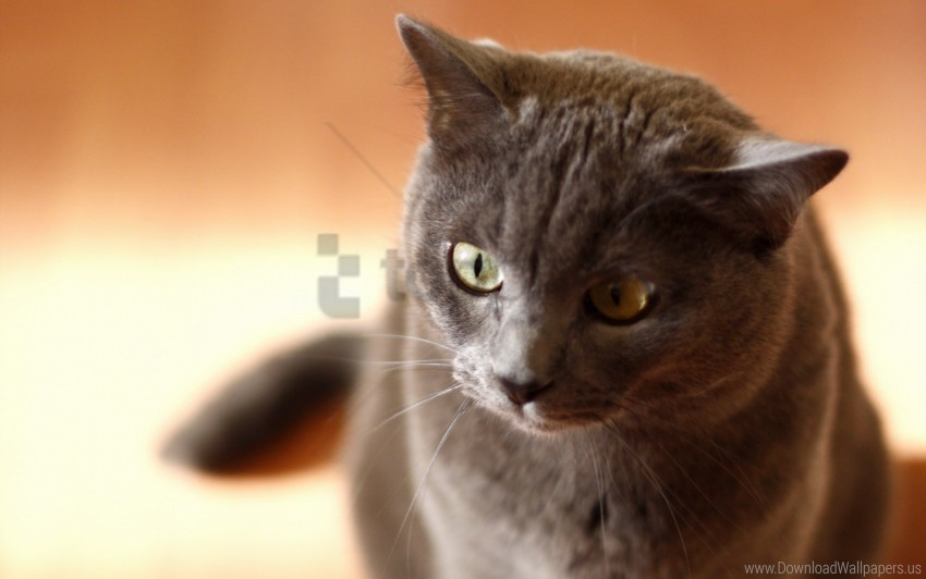 free PNG cat, eyes, face, gray wallpaper background best stock photos PNG images transparent