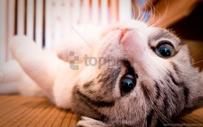 free PNG cat, eyes, face, lie wallpaper background best stock photos PNG images transparent