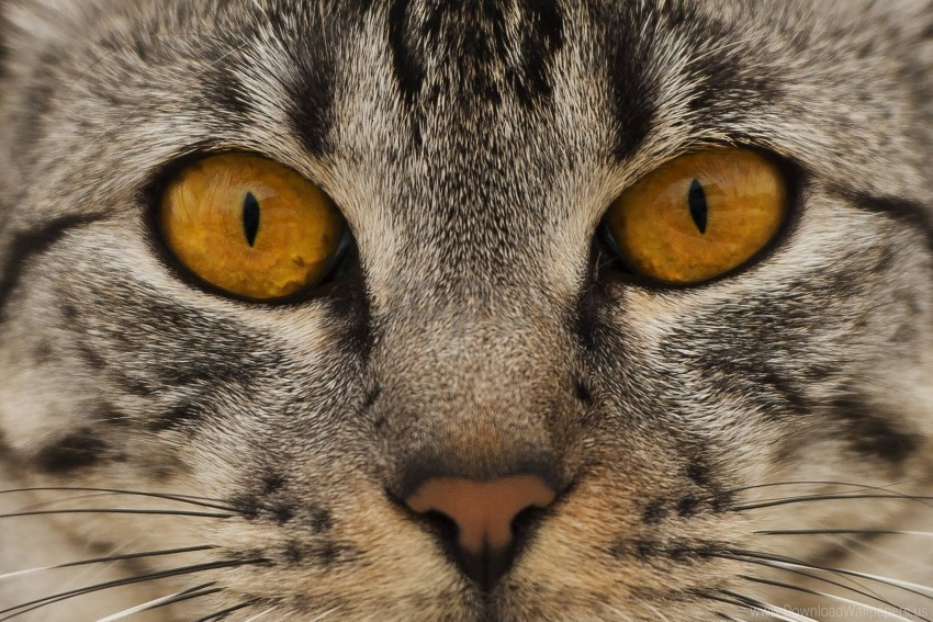 free PNG cat, eyes, face, nose wallpaper background best stock photos PNG images transparent