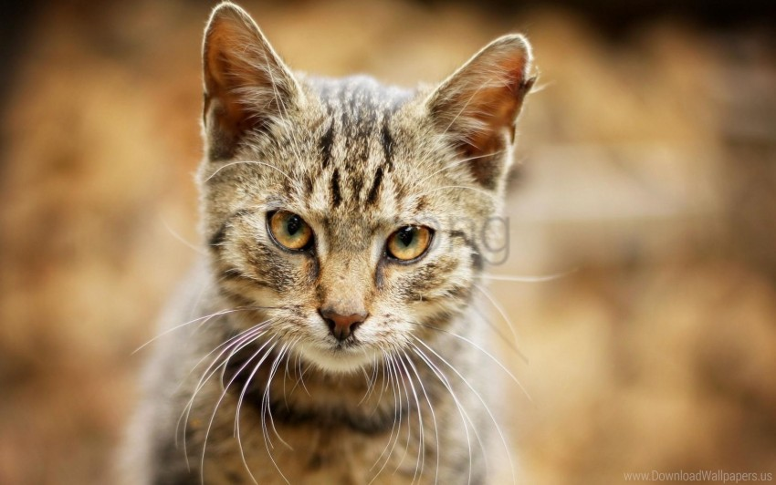 free PNG cat, eyes, face, sadness wallpaper background best stock photos PNG images transparent