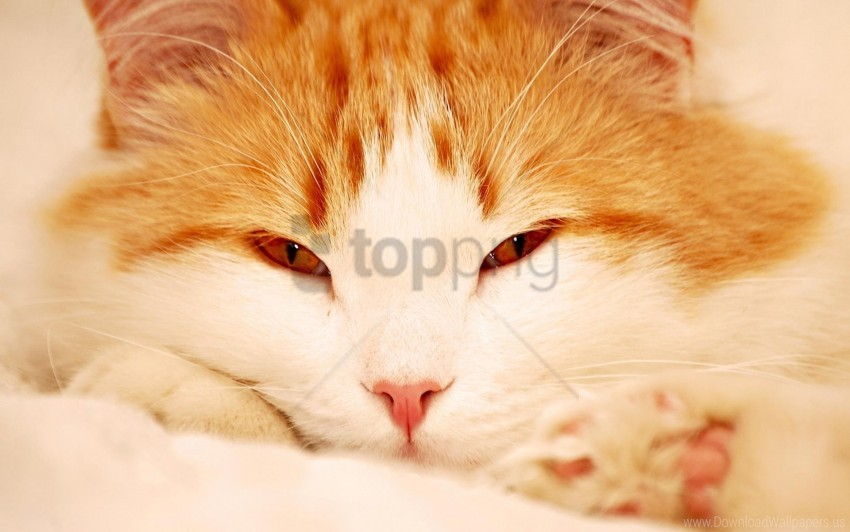 free PNG cat, eyes, face, sleepy wallpaper background best stock photos PNG images transparent