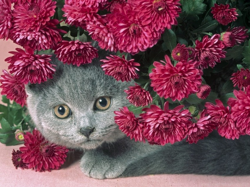 free PNG cat, eyes, flowers, muzzle wallpaper background best stock photos PNG images transparent