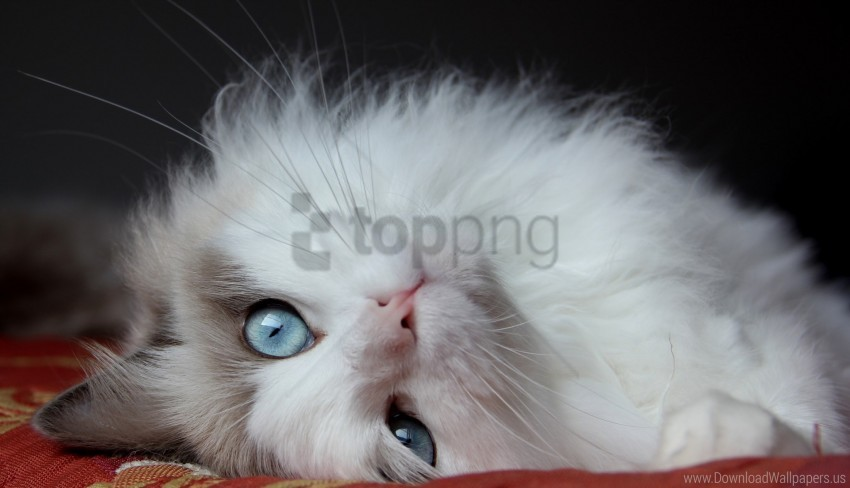 cat, eyes, fluffy cat, handsome cat, lies wallpaper background best stock photos@toppng.com