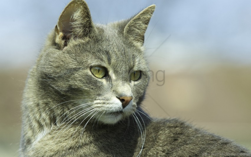 free PNG cat, eyes, gray, muzzle wallpaper background best stock photos PNG images transparent