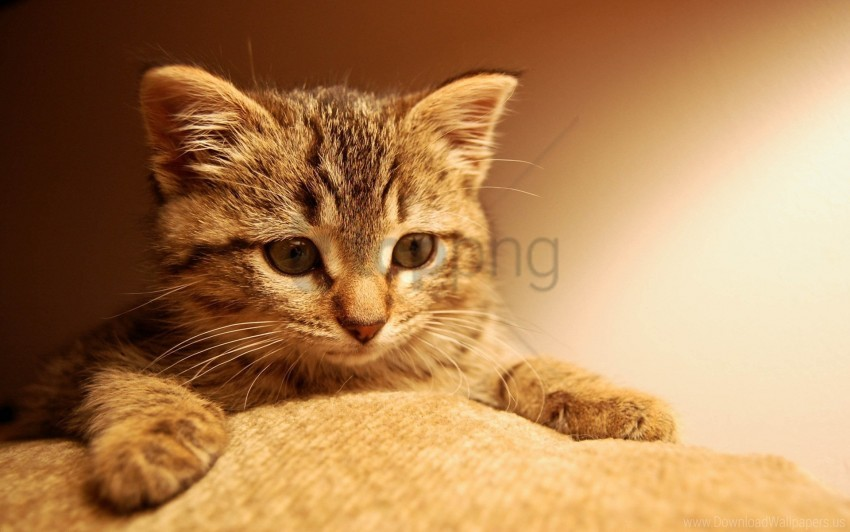 free PNG cat, eyes, kitten, muzzle, paws, striped wallpaper background best stock photos PNG images transparent