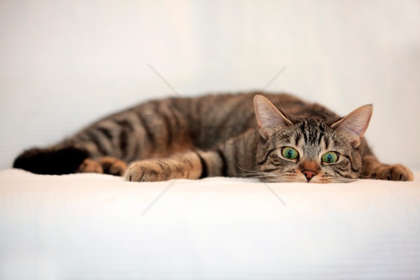 free PNG cat, eyes, lie, surprise, tabby wallpaper background best stock photos PNG images transparent
