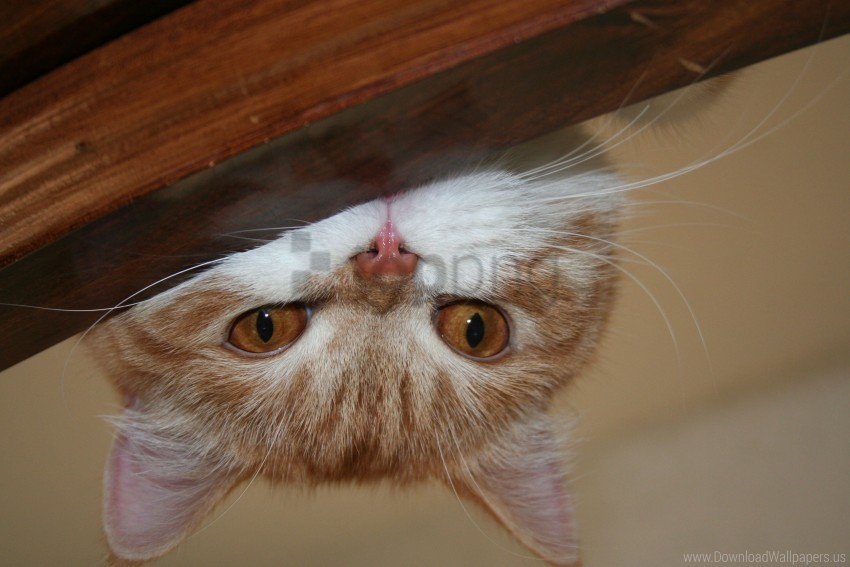 free PNG cat, face, lie, look, playful wallpaper background best stock photos PNG images transparent