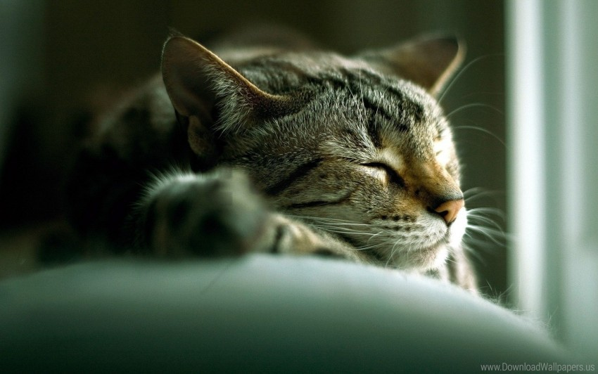 free PNG cat, face, lie, sleep wallpaper background best stock photos PNG images transparent
