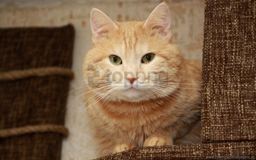 free PNG cat, face, look, thick wallpaper background best stock photos PNG images transparent