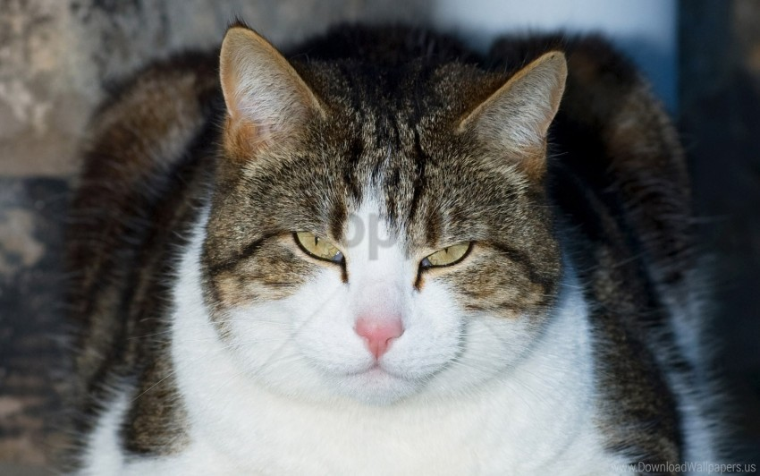 free PNG cat, face, lying, spotted, thick wallpaper background best stock photos PNG images transparent
