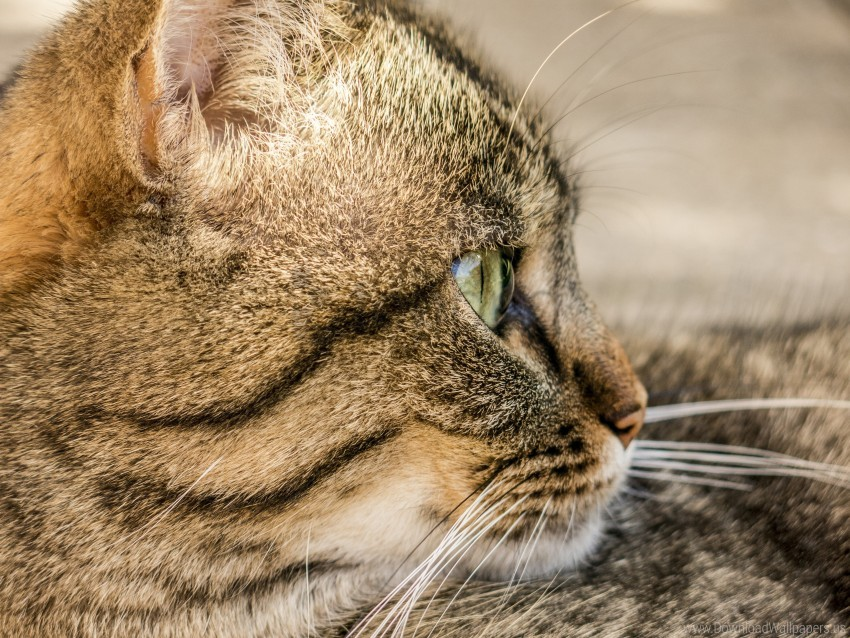 free PNG cat, face, pro, striped wallpaper background best stock photos PNG images transparent