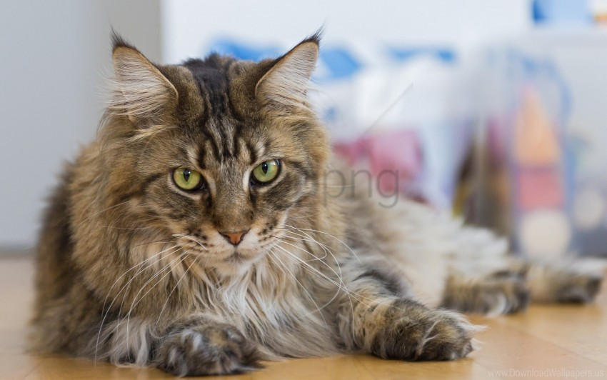 free PNG cat, furry, lying, thick wallpaper background best stock photos PNG images transparent