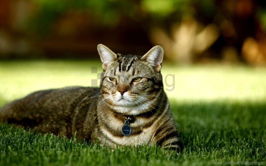 free PNG cat, grass, lie down, striped wallpaper background best stock photos PNG images transparent