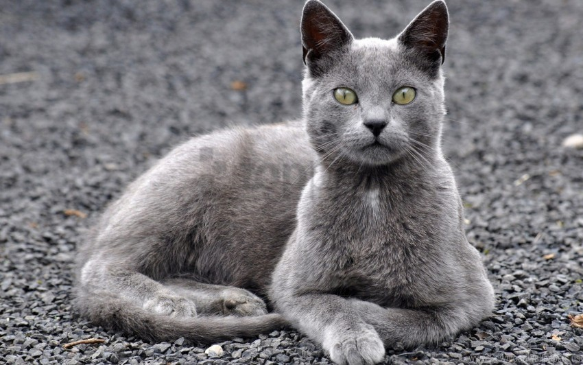free PNG cat, gray, lie, look wallpaper background best stock photos PNG images transparent