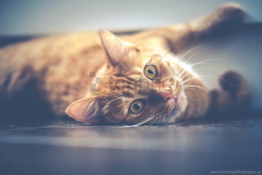 free PNG cat, lying, muzzle, red wallpaper background best stock photos PNG images transparent