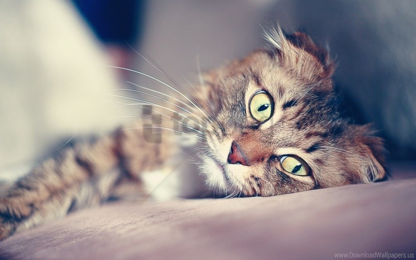 cat, lying, muzzle, smeared wallpaper background best stock photos@toppng.com
