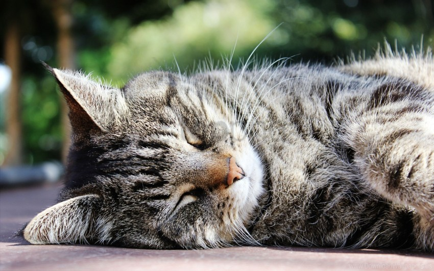 free PNG cat, muzzle, sleep, striped wallpaper background best stock photos PNG images transparent