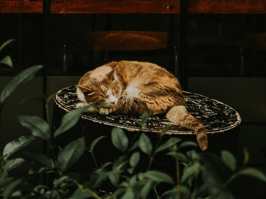 free PNG cat, red, sleeping, chair, showcase, flower background PNG images transparent