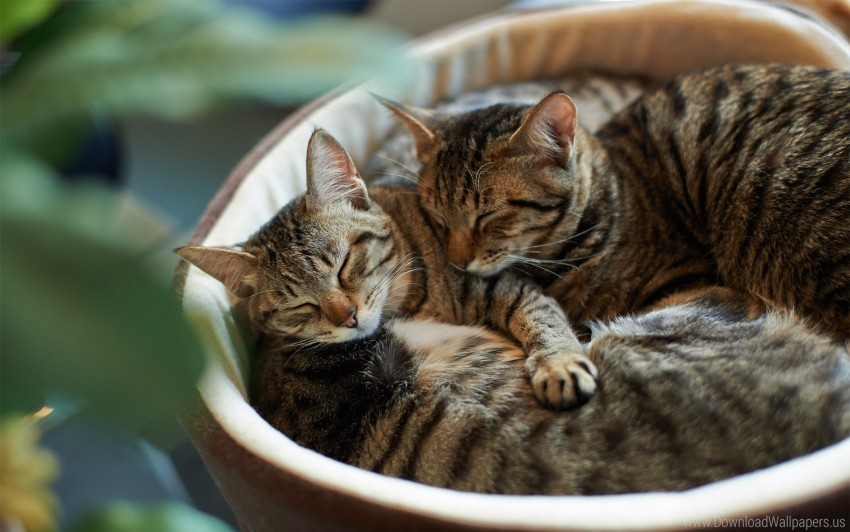 free PNG cats, couple, lie down, sleep, striped wallpaper background best stock photos PNG images transparent
