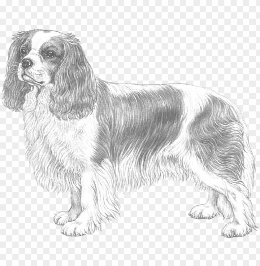 free PNG cavalier king charles spaniel PNG image with transparent background PNG images transparent