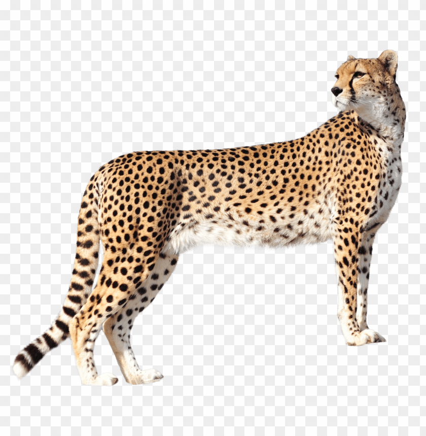free PNG Download Cheetah png images background PNG images transparent