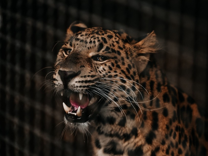 free PNG cheetah, grin, predator, muzzle, big cat, fangs background PNG images transparent